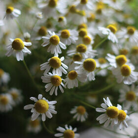 Chamomile Herb Plant