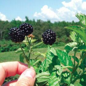 Blackberry Plant-gallon