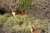 Parent -Child Trophy Whitetail or Exotic Hunt in the Texas Hill Country - 2 day 2 night all inclusive