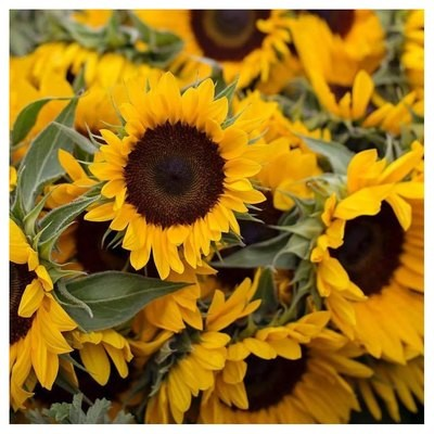 Best Sunflowers for Cut Flowers