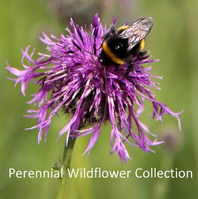 Perennial Wildflowers Seed Collection
