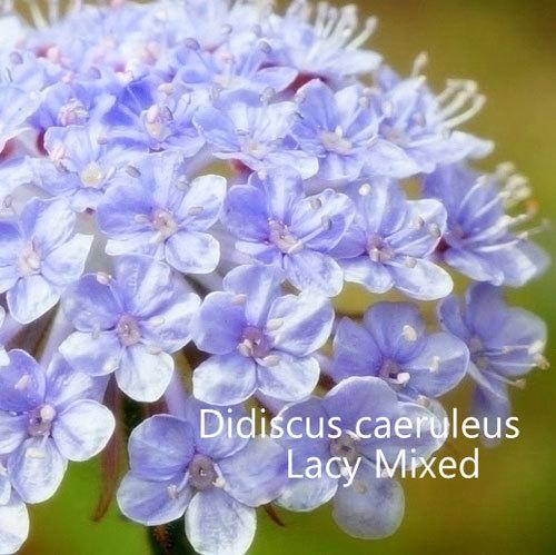 Didiscus caeruleus 'Lacy Mixed' 00060