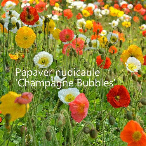 Papaver nudicaule 'Champagne Bubbles' 00077
