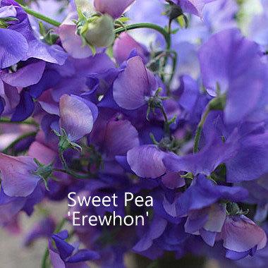 Sweet Pea 'Erewhon'