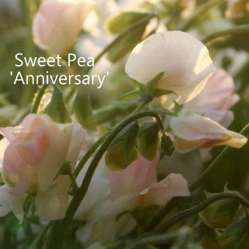 Sweet Pea 'Anniversary' 00108
