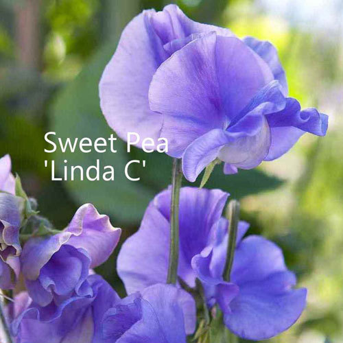 Sweet Pea 'Linda C' 00112