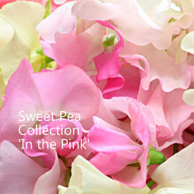Sweet Pea Collection 'In the Pink' 00120