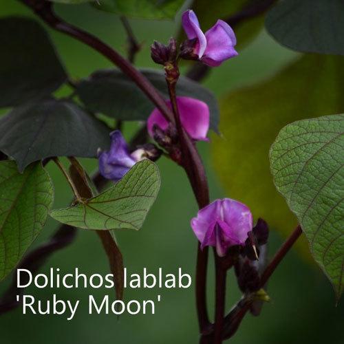Dolichos lablab 'Ruby Moon' 00142