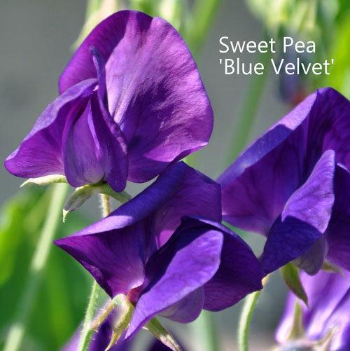 Sweet Pea 'Blue Velvet' 00146