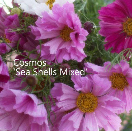 Cosmos bipinnatus 'Sea Shells'