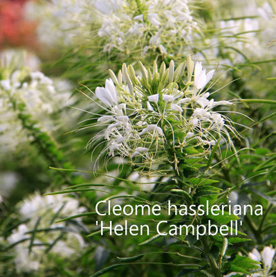 Cleome hassleriana 'Helen Campbell'
