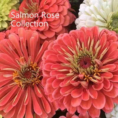 Salmon Rose Collection