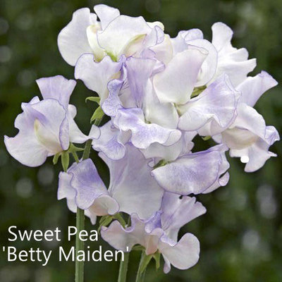 Sweet Pea 'Betty Maiden'