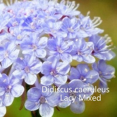 Didiscus caeruleus 'Lacy Mixed'