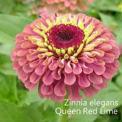 Zinnia elegans Queen Red Lime