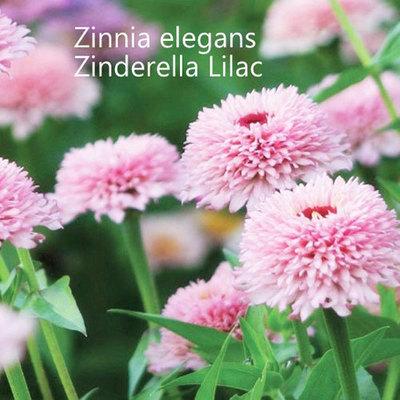 Zinnia elegans Zinderella Lilac