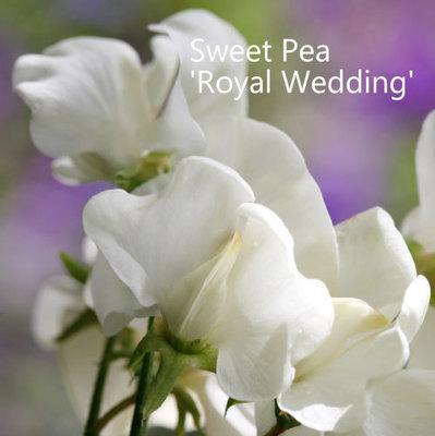 Sweet Pea 'Royal Wedding'