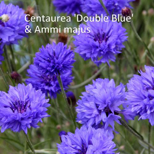 Centaurea 'Double Blue' & Ammi majus 00169