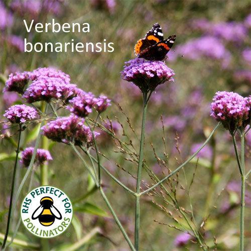 Verbena bonariensis 00181