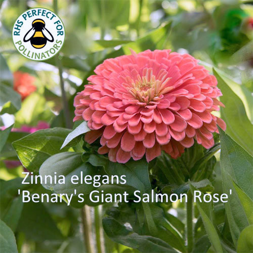 Zinnia 'Benary's Giant Salmon Rose' 00177