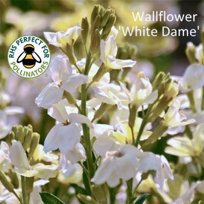 Wallflower 'White Dame'