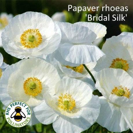 Papaver rhoeas 'Bridal Silk' 00210