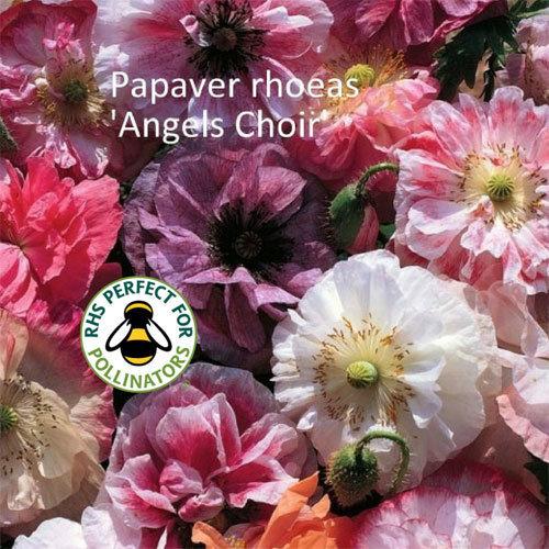 Papaver rhoeas 'Angels Choir'