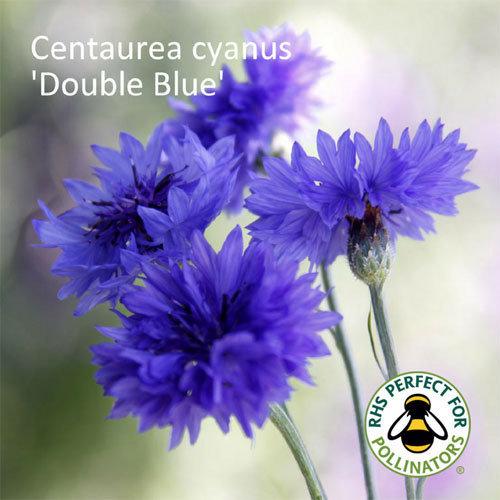 Centaurea cyanus Double Blue 00001