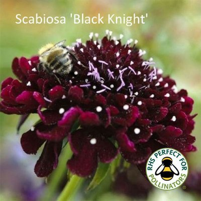 Scabiosa 'Black Knight'