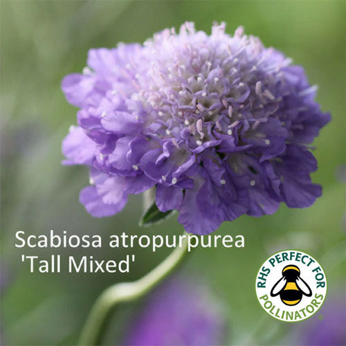 Scabiosa 'Tall Double Mixed'