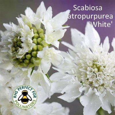 Scabiosa 'White'