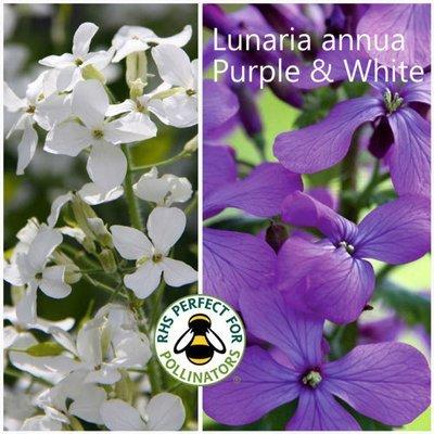 Lunaria annua Purple & White