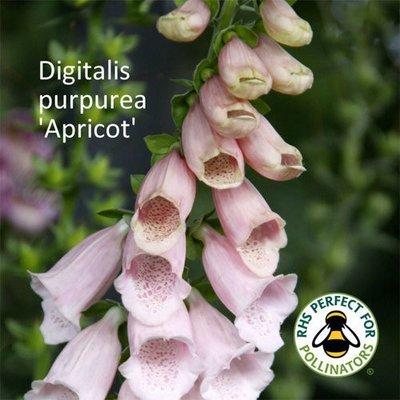Digitalis purpurea 'Apricot'