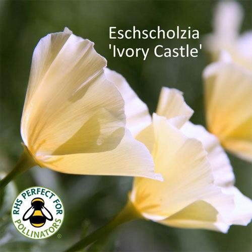 Eschscholzia Ivory Castle 00022