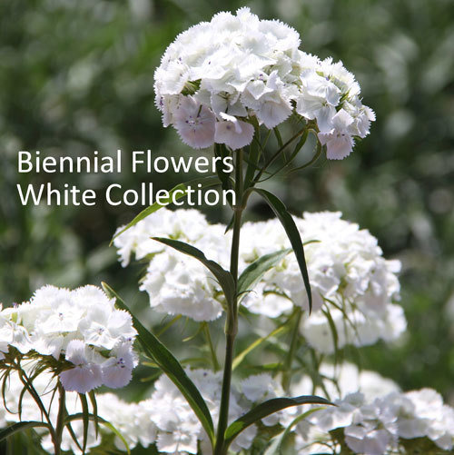 Biennial Flowers White Collection