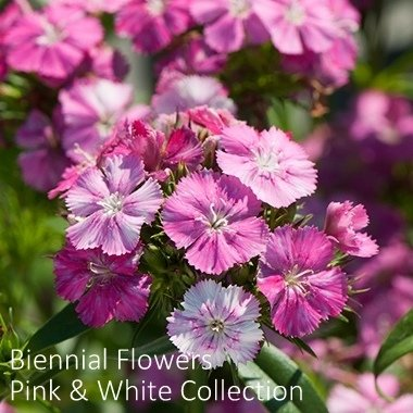 Biennial Flowers Pink & White Collection 00219