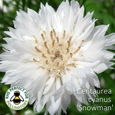 Centaurea cyanus 'Snowman'