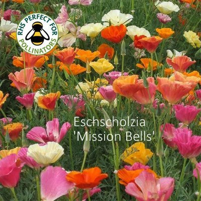 Eschscholzia californica 'Mission Bells'