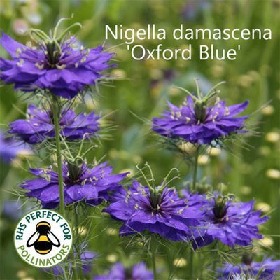Nigella damascena 'Oxford Blue'