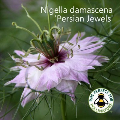 Nigella damascena 'Persian Jewels'