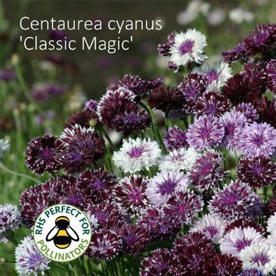 Centaurea cyanus 'Classic Magic'