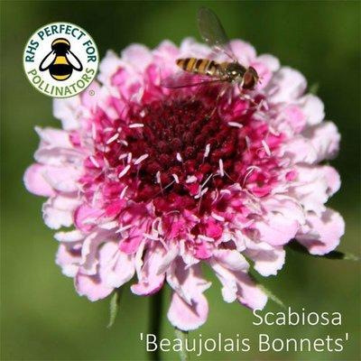 Scabiosa 'Beaujolais Bonnets'