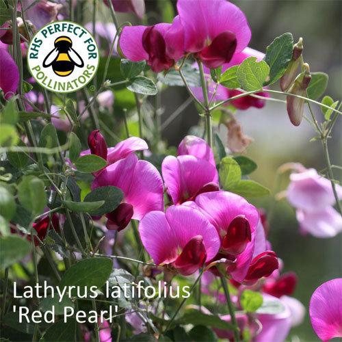 Lathyrus latifolius 'Red Pearl' 00231