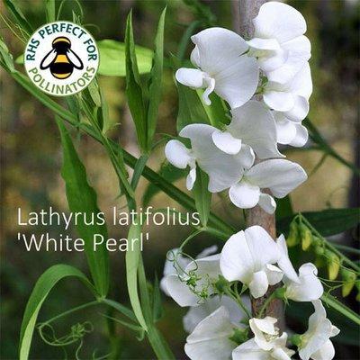 Lathyrus latifolius 'White Pearl'