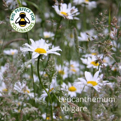 Leucanthemum vulgare 00238