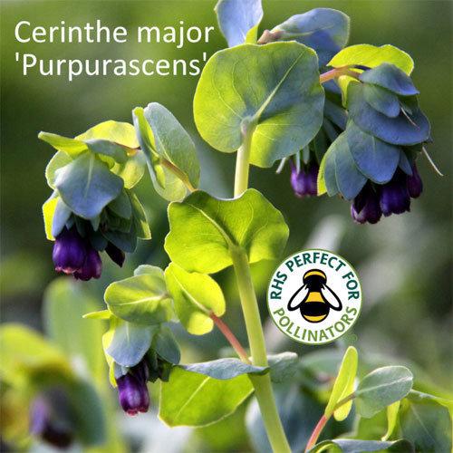 Cerinthe major Purpurascens 00009