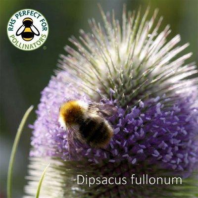 Dipsacus fullonum