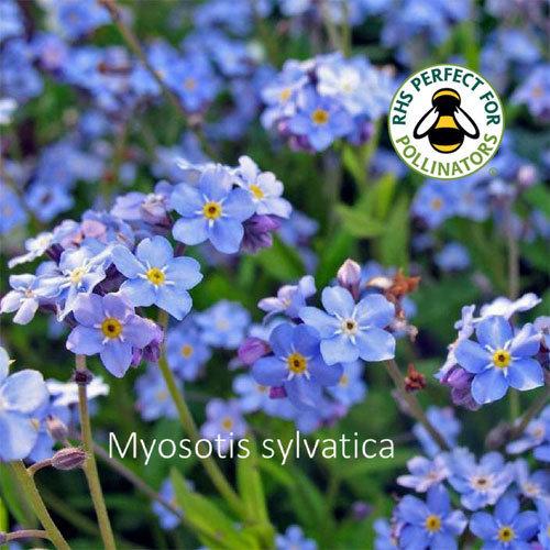Myosotis sylvatica