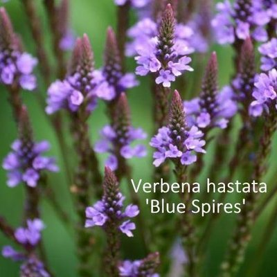 Verbena hastata 'Blue Spires'