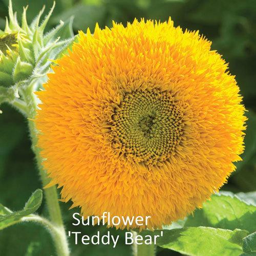 Helianthus 'Teddy Bear' 00301
